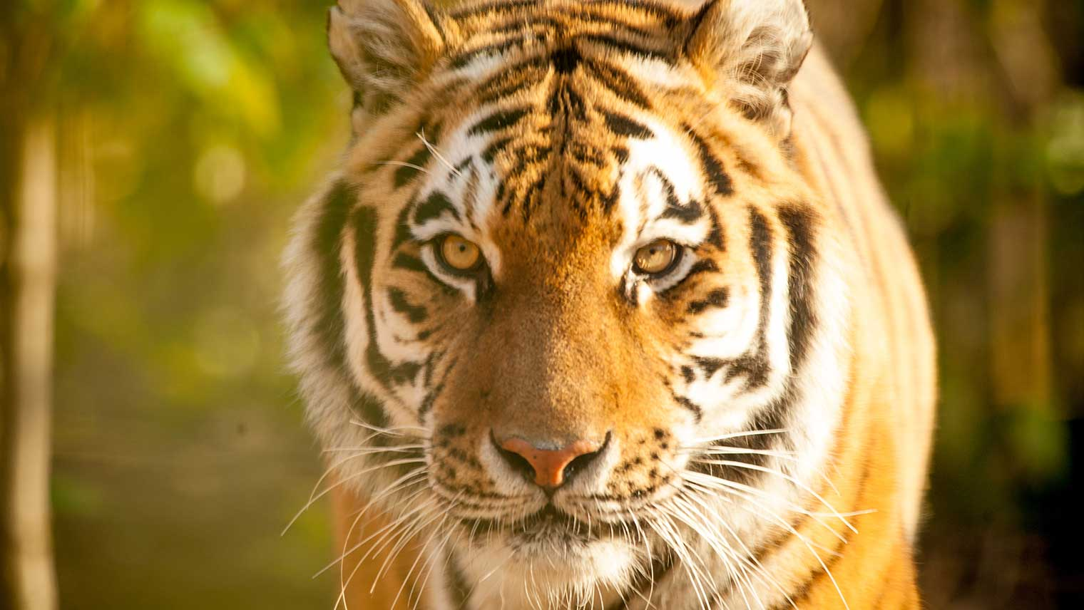 Tigers at Chessington World of Adventures
